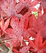 Rain On Red Maple