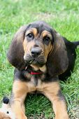 stock photo of bloodhound  - A young bloodhound puppy in the grass - JPG