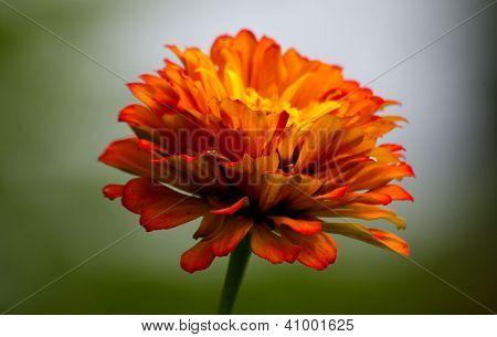 Colorful Zennia