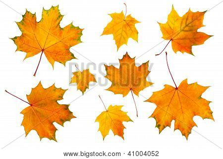 Maple Leaves Isolated On A White