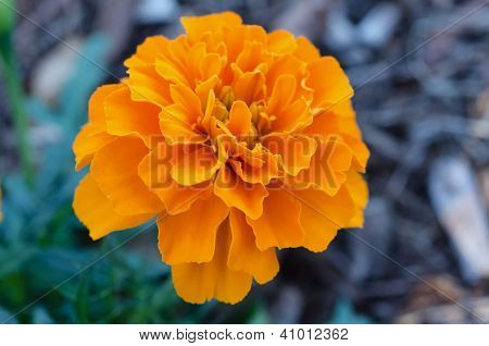 Close-up Marigold
