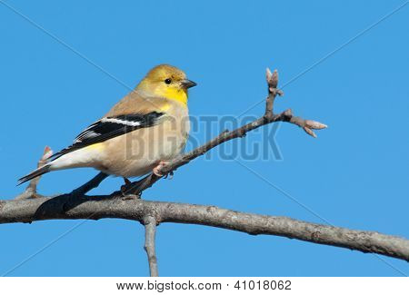 Male American Goldfinch in winter plumage in an Oak tree against clear blue winter sky