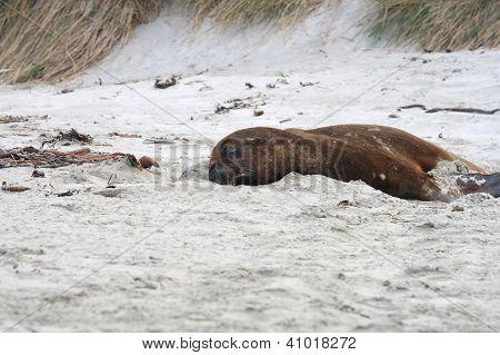 Big Sea Lion On The Beach