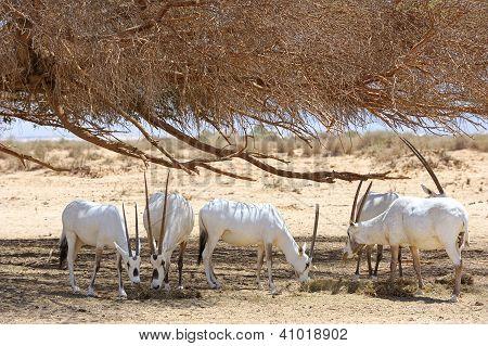 Oryx Herd
