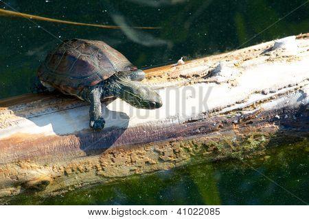 Climbing Turtle