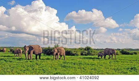 Elephant's Family In African Savannah