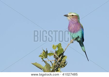Lilac Breasted Roller (coracias Caudata) South Africa