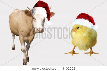 A Calf And A Chicken