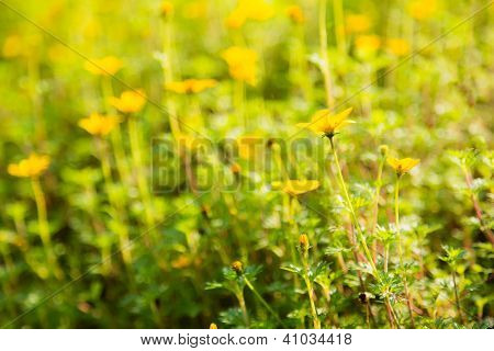 Bidens Flower In Garden