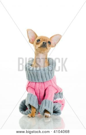 Chihuahua Dog In Sweater