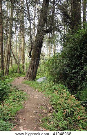 Path Through a Eucalyptus Forest