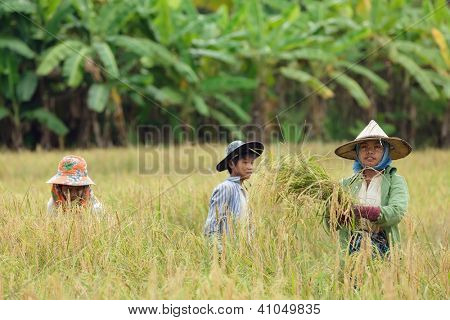 Burmese farmers harvesting rice in Thailand