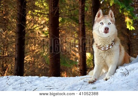 Siberian Husky In A Forest On A Sunny Winter Day