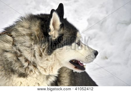 Close Up Of Siberian Husky On A Snow Background