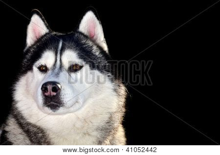 Close Up Of Siberian Husky Isolated On Black