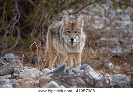 coyote looking