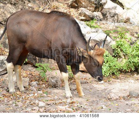 Gaur Seladaing Bos Gaurus