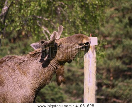 European Elk sniffing a salt block