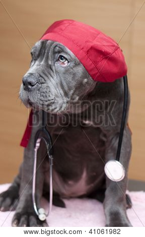 Neapolitan Mastiff puppy with vet's cap and stethoscope