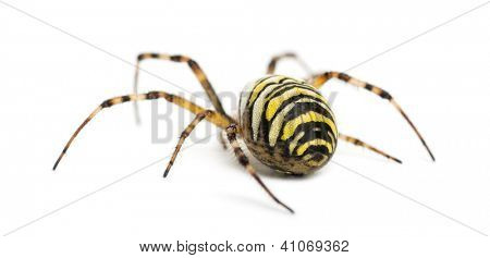 Rear view of a Wasp Spider, Argiope bruennichi, against white background