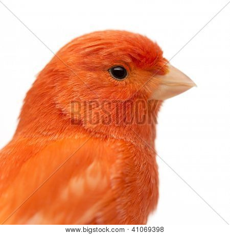 Close up of a Red canary, Serinus canaria, against white background