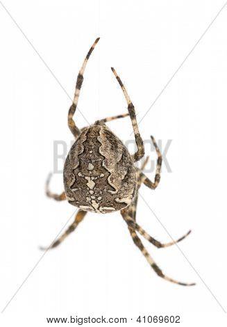 European garden spider, Araneus diadematus, hanging on silk string against white background