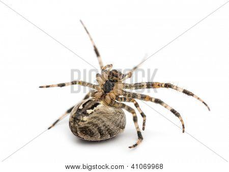 European garden spider, Araneus diadematus, on its back against white background
