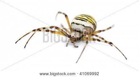 Wasp Spider, Argiope bruennichi, against white background