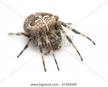 European garden spider, Araneus diadematus, curled up against white background