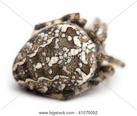 Rear view of an European garden spider, Araneus diadematus, curled up against white background