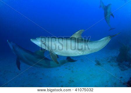 Wild lebende Delphine unter Wasser