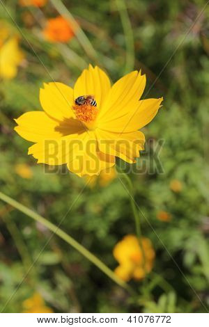 Yellow Cosmos Flower And Bee Insect