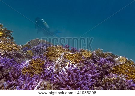 coral reef with violet hard corals yellow fire corals and diver in red sea