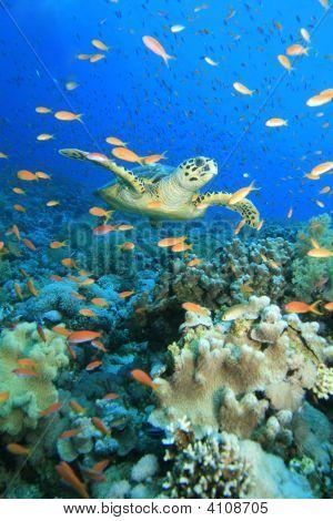 Turtle In Anthias