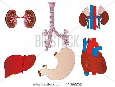 Vector A Set Of An Internal Of The Person Of A Kidney, A Liver, A Trachea, A Stomach, Heart