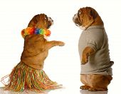 foto of hula dancer  - one english bulldog dressed up performing the hula dance while another one watches - JPG