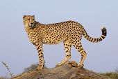 picture of cheetah  - A Male Cheetah  - JPG