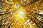 stock photo of jammu kashmir  - Upward view of Fall Aspen Trees  - JPG