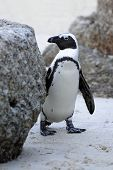 picture of jackass  - Endangered African Penguin also known as the Black - JPG