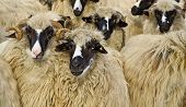 A Flock Of Purebred Domestic Fleecy Sheep poster