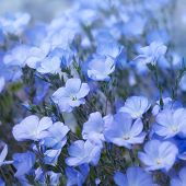 picture of flax plant  - Flax Flowers - JPG