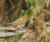 image of fluffing  - European Robin on Bird Bath - JPG