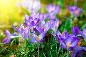 stock photo of stamen  - Spring purple crocus flowers with sunlight in nature - JPG