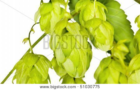 Branch Of Fresh Green Hop On White