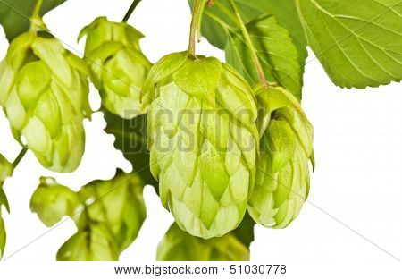 Fresh Green Hop Branch Close View