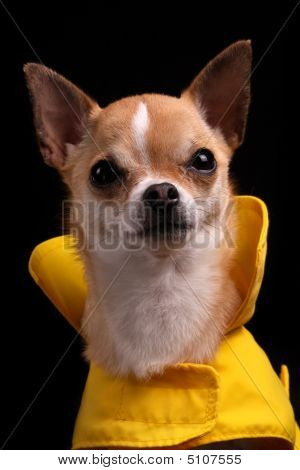 Chihuahua In A Raincoat
