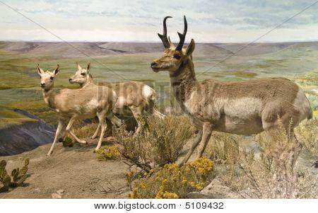 Pronghorn Trio