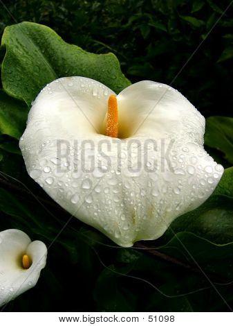 Rain On Lilys