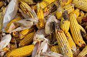 foto of penicillium  - Corn rot  - JPG