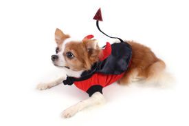 picture of chiwawa  - Chiwawa in devil suit for halloween night on white background - JPG